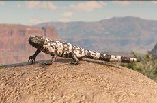 荒野大镖客2完美鬣蜥皮获取地点