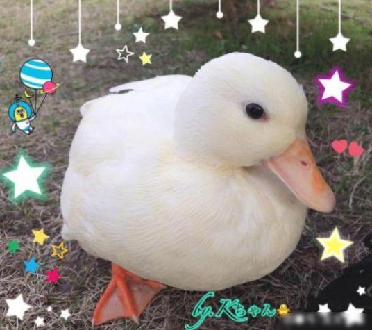王思聪买的鸭子品种是call duck(柯尔鸭)