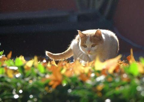澳政府欲捕杀200万只野猫是怎么回事-澳政府欲捕杀200万只野猫的具体情况介绍