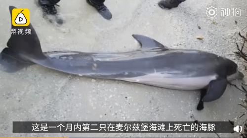 同一海滩1个月内2只海豚死亡!死海豚胃内发现61厘米塑料管