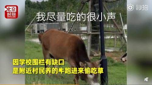 厦大放牛除草代替除草机?校方:牛是隔壁村跑来偷吃的