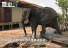 大象怕踩坏走廊小心前进,礼貌的样子帅呆了!