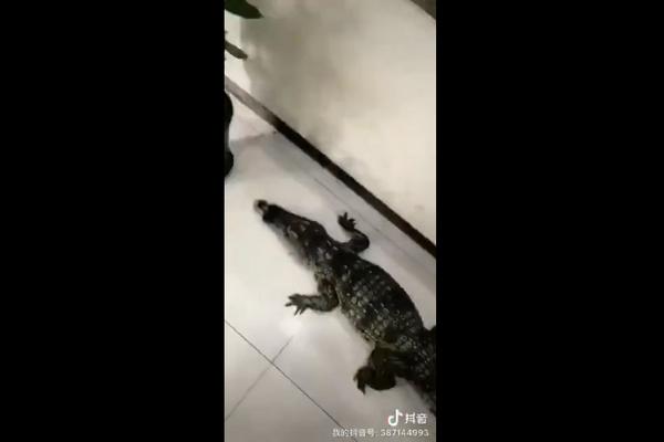 武汉暴雨鳄鱼出没:武汉暴雨,江岸工场内呈现一公约1.5米长的鳄鱼