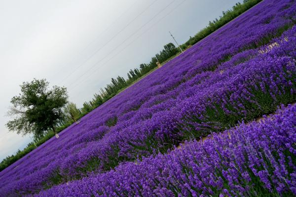 新疆伊犁6万亩薰衣草怒放,紫色花海美到停滞