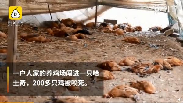 二哈咬死200只鸡:淡定卖萌摇尾巴,警察蜀黍喊话找主人