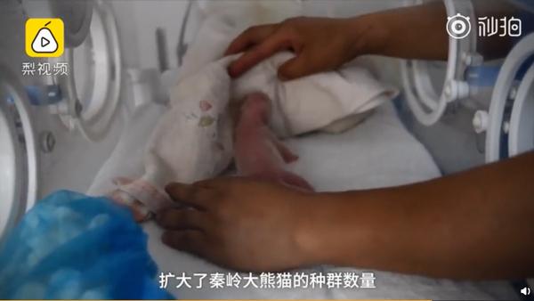 19岁大熊猫产龙凤胎:已是第5次生产,相当于人类60岁