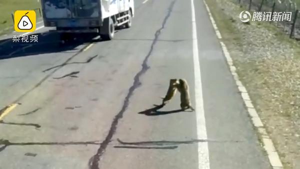 两只土拨鼠公路互殴是怎么回事-两只土拨鼠公路互殴详情介绍