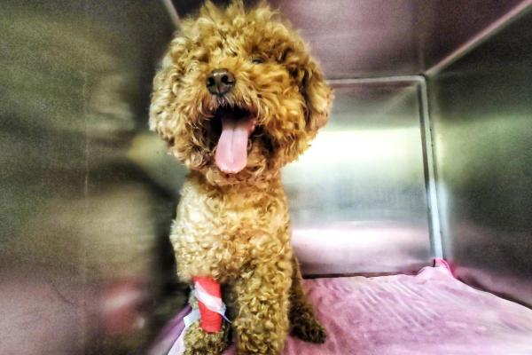 贵宾犬洁牙被拔17颗牙,涉事宠物医院回应:洁牙松了才拔的