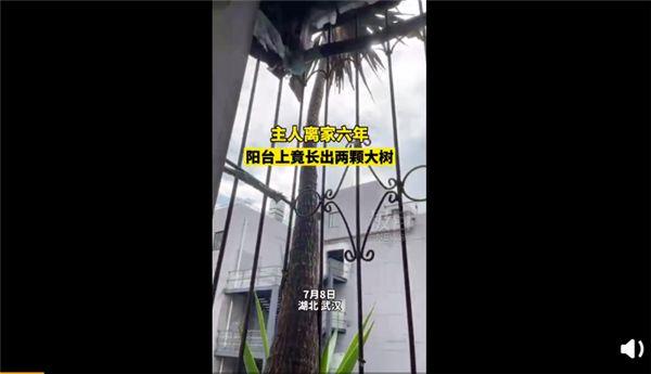 离家六年阳台长出两棵大树是怎么回事